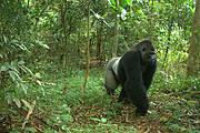 Impressive Male Cross River Gorilla Photo: WCS