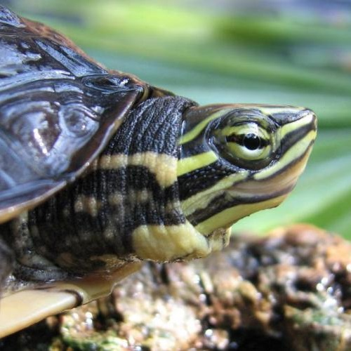 Photo: eDNA methods are increasingly being used to survey endangered species such as the Vietnamese pond turtle © Adam Stern/Wikimed