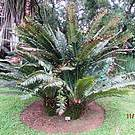Seven of South Africa's cycad species number less than 100 individuals in the wild Photo: EWT