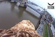 Darshan the Imperial Eagle soars towards London's Tower Bridge Photo: Freedom