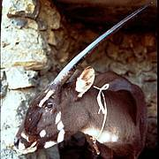 The only live adult Saola ever seen by the outside world. This female was captured in 1996 in Laos by local villagers, and transferred to a nearby menagerie, but survived only a few weeks. Copyright 1996 by W. Robichaud/WCS. (photo: W. Robichaud/WCS)
