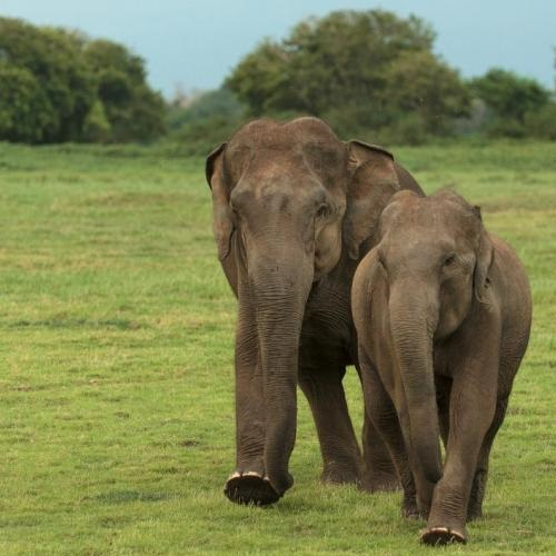 Protecting South Asia's elephants. Photo: Rohit Varma