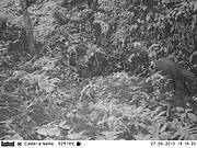 Camera-trap photo of Saola (Pseudoryx nghetinhensis) - taken on 7 September 2013 at early evening shows a single Saola moving along a rocky forest valley stream in a remote corner of the Central Annamite mountains of Vietnam. Photo: © WWF-Greater Mekong