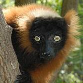 Red-ruffed lemur (Varecia rubra) Photo: Russell A. Mittermeier
