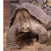 Pinta Giant Tortoise (Chelonoidis abingdoni) (Photo ©: Anders G.J. Rhodin)