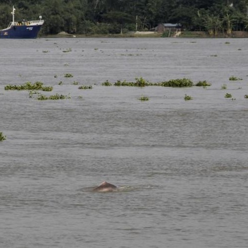 Ganges River Dolphin at the confluence of the Bhairab-Atai-Rupsha river system in Khulna, Bangladesh. Photo: © IUCN / Kazi Zenifar Azmiri