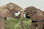 Elephants in Chobe National Park, Botswana Photo: Sue Mainka