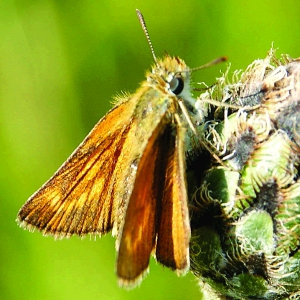 Lulworth Skipper (Thymelicus acteon), Eifel, Germany Photo: Chris van Swaay