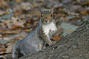 The American grey squirrel (Sciurus carolinensis) is introduced to the British Isles and Italy where it is having a significant impact on both the agriculture sector and the forestry industry, as well as causing ecological damage to forest ecosystems Photo: Sandro Bertolino