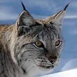 Eurasian Lynx (Lynx lynx) Photo: John Linnell/NINA