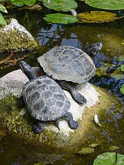 The American red-eared slider (Trachemys scripta elegans) is a freshwater turtle usually sold as a pet, and now introduced in several European countries where it represents an ecological threat for the indigenous fauna and flora. Photo: Riccardo Scalera