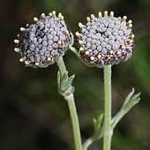 Artemisia granatensis Photo: Jose Quiles Hoyo