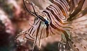 Juvenile lionfish pterois volitans. Photo: Sirachai Arunrugstichai