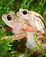 Kihansi Spray Toad (Nectophrynoides asperginis) Extinct in the Wild. Photo © Tim Herman.