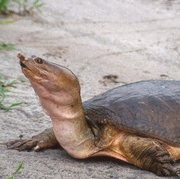 Florida Softshell Turtle (Apalone ferox) Photo © Matt Aresco