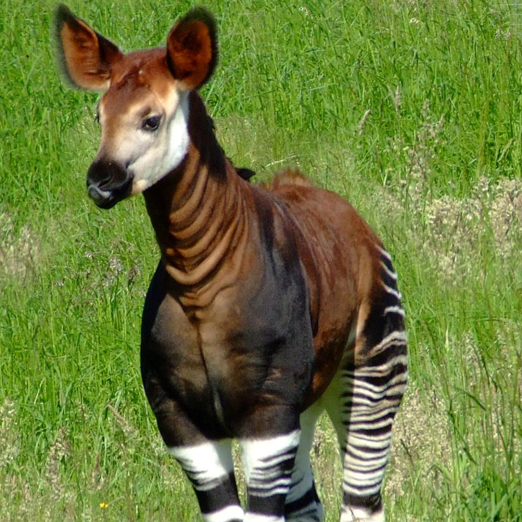 Okapi: Endangered Photo: Charles Miller (CC BY 2.0 - http://creativecommons.org/licenses/by/2.0/deed.en)