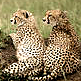 Cheetahs in Masai Mara National Reserve, Kenya Photo: IUCN Photo Library © Sue Mainka