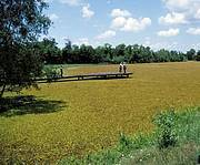 Giant Salvinia covering a farm pond Photo: Ted D Center USDA ARS