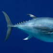 Pacific Bluefin Tuna (Thunnus orientalis) Vulnerable