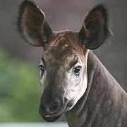 Okapi Photo: ZSL