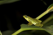 Rio Pescado stubfoot toad (Atelpus balios), one of the rediscovered species in the Lost Frogs/Amphibian Campaign (photo © Eduardo Toral-Contreras)
