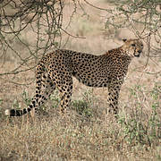 Cheetah (Acinonyx jubatus). Photo: IUCN Photo Library-Sue Mainka
