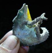 Pygmy chameleon (Photo © Julian Bayliss RBG Kew)