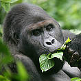 Grauer's Gorilla (Gorilla beringei graueri) Photo: KBNP/ICCN