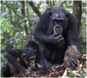 Chimpanzees in Taï National Park Park, Côte d'Ivoire Photo: IUCN PACO