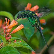Cozumel Emerald Hummingbird. Photo: Roy Toft / International League of Conservation Photographers.