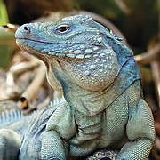 A male Grand Cayman Blue Iguana (Cyclura lewisi) at his peak. Photo: John Binns
