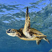 Juvenile Green Turtle (Chelonia mydas). Photo: Andre Seale