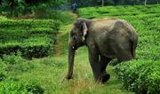 Photo: WCS India surveys of tea plantations reveal presence of a number of species including Asian elephants © Varun Goswami & Divy