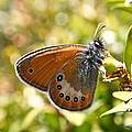 Coenonympha orientalis. Photo © Neil Thompson