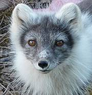 Arctic Fox (Alopex lagopus) Photo: Drew Avery
