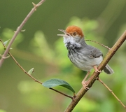 Cambodian Tailorbird Photo: James Eaton