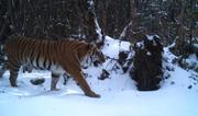 Photo: Tiger in the Bhutanese mountains - DoFPS Bhutan