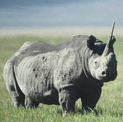 Black Rhino (Diceros bicornis). Photo: IUCN / Jeffrey McNeely.