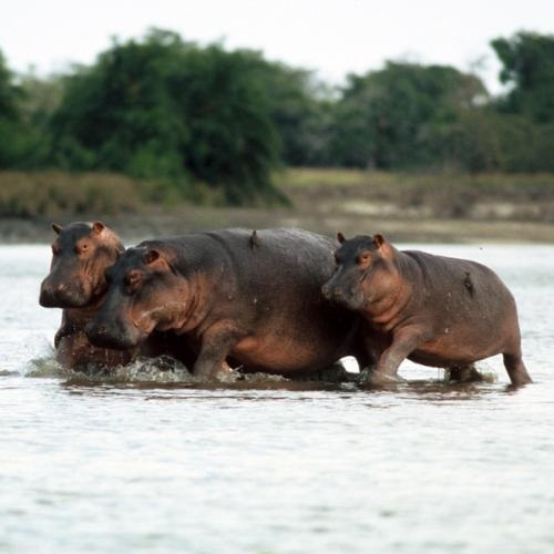 Large Hippos (Hippopotamus amphibious). Photo: Jean-Christophe Vié.