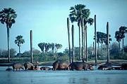 Hippos in the Rufiji River in the Selous Game Reserve, Tanzania Photo: Jim Thorsell