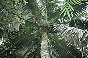Voanioala gerardii canopy Photo: John Dransfield / Royal Botanic Gardens, Kew