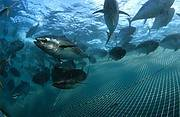 Southern Bluefin Tuna (Thunnus maccoyii) Photo: Ian Gordon/Auscape International