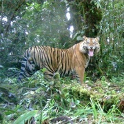 Photo: DICE-FFI-Kerinci Seblat National Park-Panthera