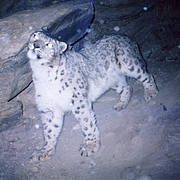 Snow Leopard (Panthera uncia) Photo: Shafqat Hussain