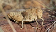 Prionotropis rhodanica (Crau Plain Grasshopper). Photo: Axel Hochkirch