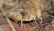 Prionotropis rhodanica (Crau Plain Grasshopper). Photo: Axel Hochkirch