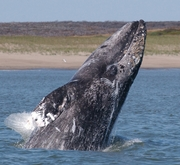 Western Gray Whale breaching. Photo © David Weller
