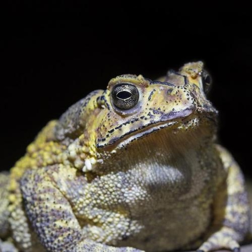 Asian common toad (Duttaphrynus melanostrictus), Viet Nam Photo: Peter Nijenhuls Flickr CC BY NC ND 2.0