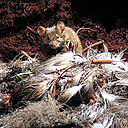 House mice kill chicks of the Endangered Atlantic Petrel. Photo © Andrea Angel and Ross Wanless.