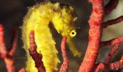 Tiger-tail seahorse (Hippocampus comes) on coral. Photo: © Peter van den Eynde / Guylian Seahorses of the World